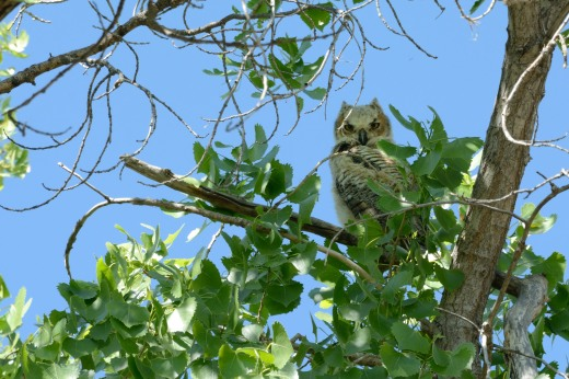 Great Horned Owl - Campbell
