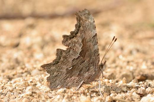 Hoary Comma (Polygonia gracilis)