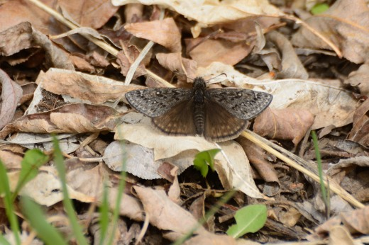 Rocky Mountain Duskywing (Erynnis telemachus)
