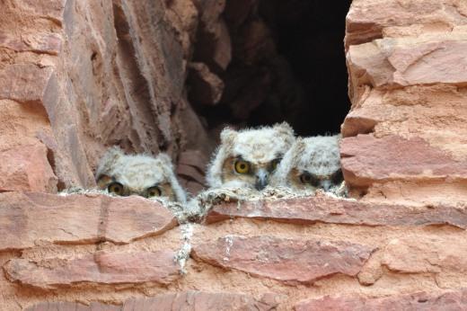 Great Horned Owls - Quarai