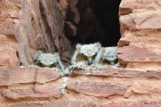 Great Horned Owls - Quarai