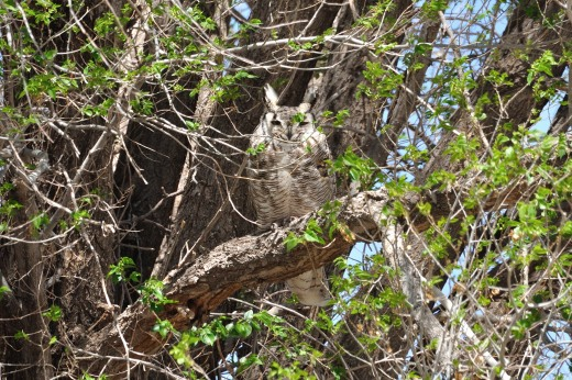 Great Horned Owl - Stanley