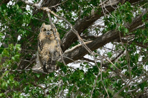 Great Horned Owl (immature)