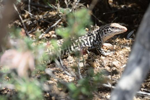 Common Checkered Whiptail (Cnemidophorus tesselatus)
