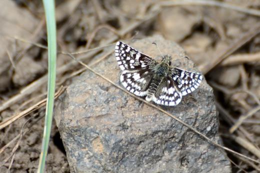 Mountain Checkered-Skipper (Pyrgus xanthus)