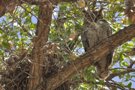Great Horned Owl - OSVC