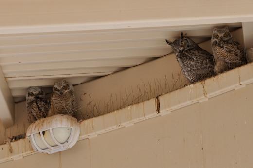 Great Horned Owl - RR