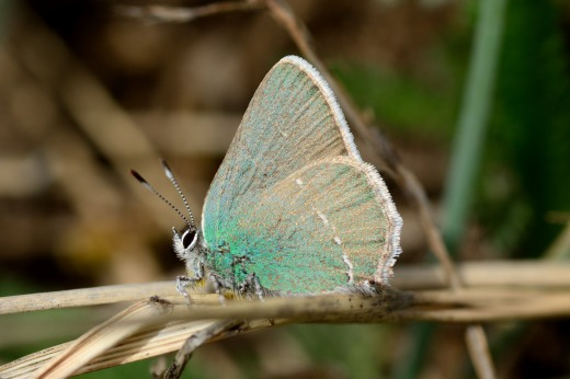 Sheridan's Hairstreak (Callophrys sheridanii)