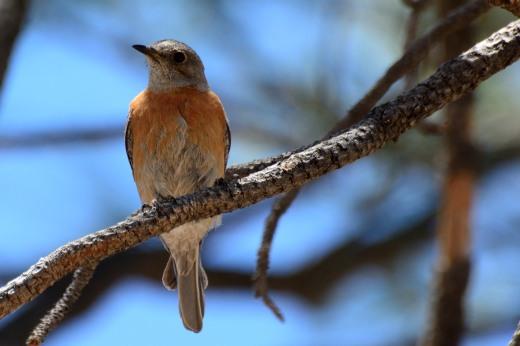 Western Bluebird (f)