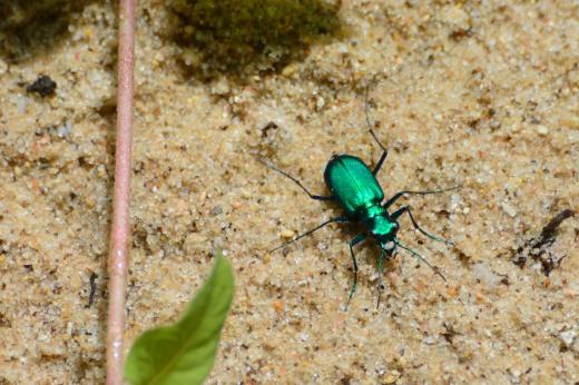 Six-spotted Tiger Beetle (Cicendela sexguttata)