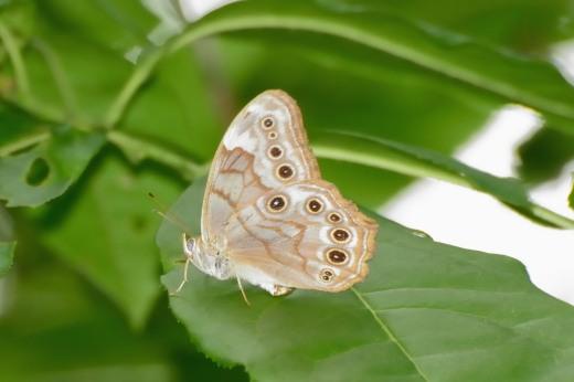 Creole Pearly-eye (Enodia creola)