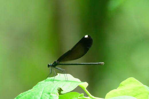 Ebony Jewelwing (f) (Calopteryx maculata)