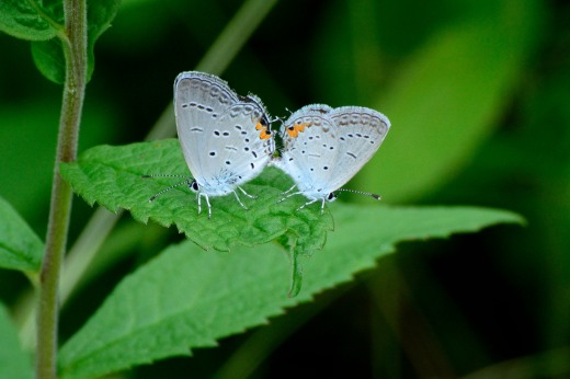 Eastern Tailed-Blue (Everes comyntas)