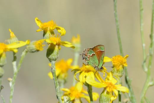 Juniper Hairstreak (Callophrys gryneus)