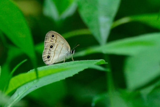 Little Wood-Satyr (Megisto cymela)