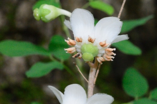 Pipsissewa (Chimaphila maculata)