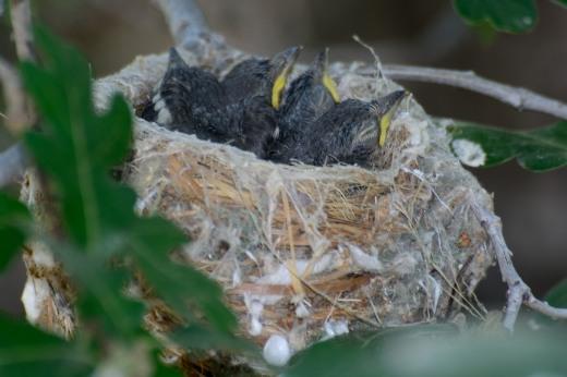 Plumbeous Vireo Nest