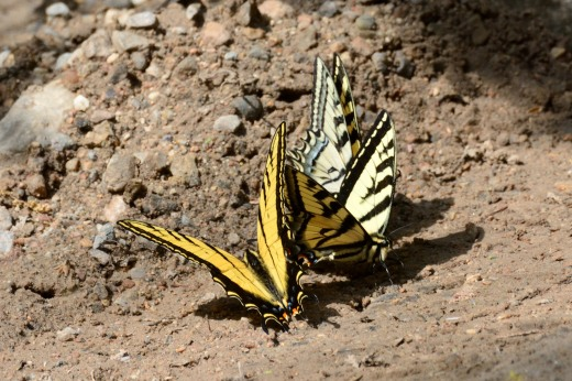 Two-tailed (P. multicaudata) and Western Tiger (P. rutulus) Swallowtails