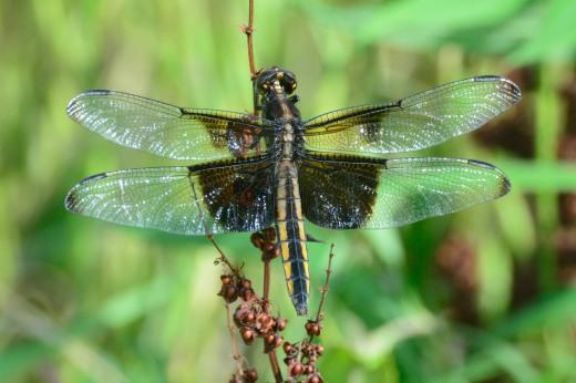 Widow Skimmer (Libelulla luctuosa)