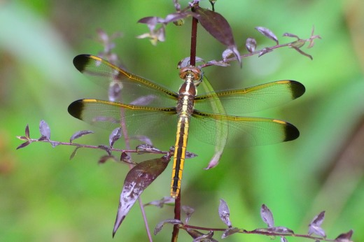 Yellow-sided Skimmer (f) (Libelulla flavida)