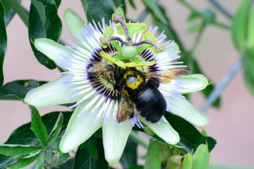 Bees and Passion Flower