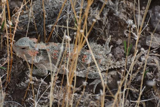 Short-horned Lizard (Phrynosoma hernandezi)
