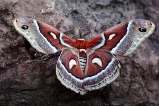 Silk Moth (Hyalophora columbia)