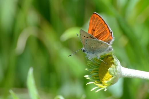 Male Ferris's Copper (Lycaena ferrisi)