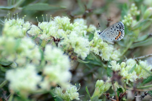 Central Blue (Euphilotes battoides centralis)