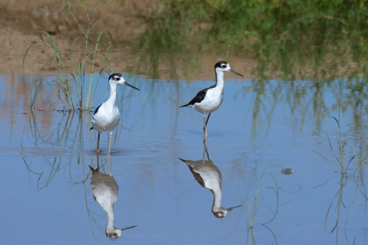 Immature Black-necked Stilt