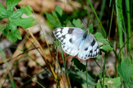 Checkered White (Pontia protodice) female