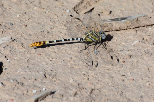 White-belted Ringtail (Erpetogomphus compositus)