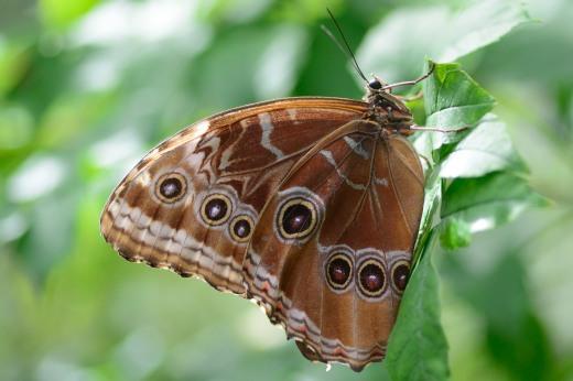 Blue Morpho (Morpho sp.)