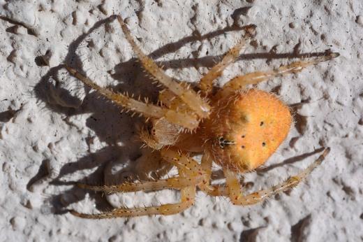 Pumpkin Spider (Araneus illaudatus)