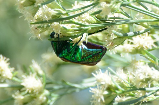 Figeater Beetle (Cotinis mutabilis)
