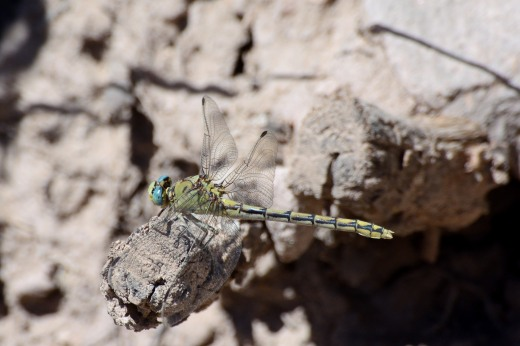 Pale Snaketail (Ophiogomphus severus)