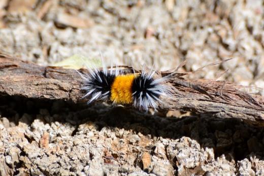 Tussock Moth (Lophocampa maculata)