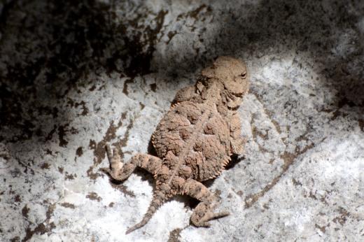 Short-horned Lizard (Phrynosoma sp.)