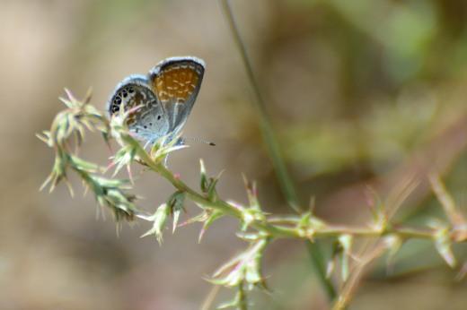 Western Pygmy-Blue (Brephidium exile)