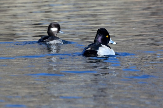 Female Bufflehead and Male Ring-necked Duck