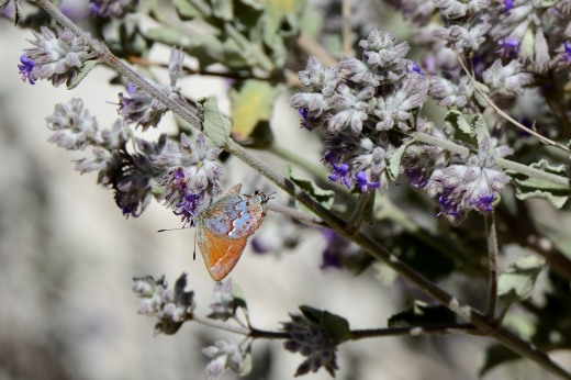 'Loki' Juniper Hairstreak (Callophrys gryneus loki)