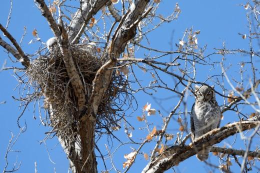 Great Horned Owl - Pueblo Montano