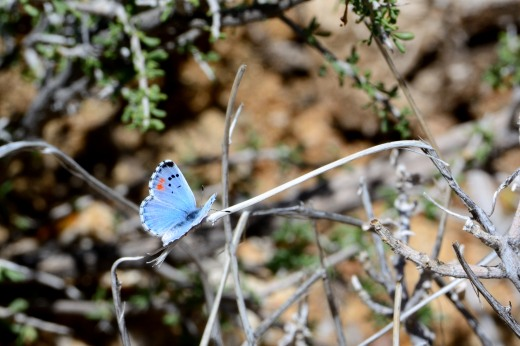 Male Sonoran Blue (Philotes sonorensis)