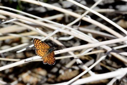Tiny 'Imperialis' Checkerspot (Dymasia dymas imperialis)