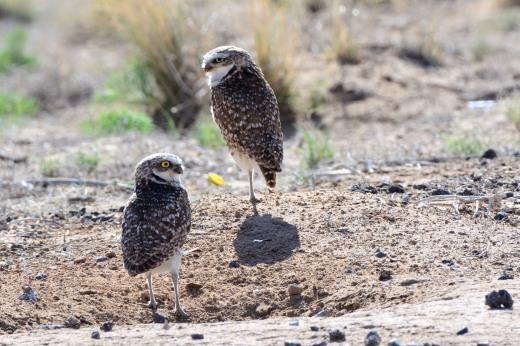 Burrowing Owls