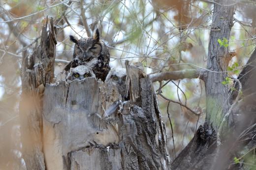 Great Horned Owls - Calabacillas