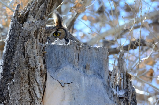 Great Horned Owl - Calabacillas