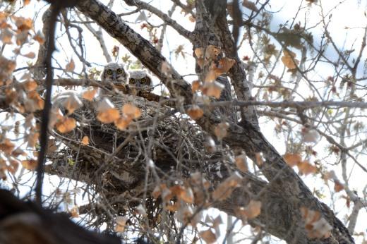 Great Horned Owls - Pueblo Montano
