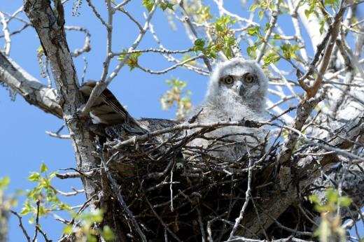 Great Horned Owl - RGNC
