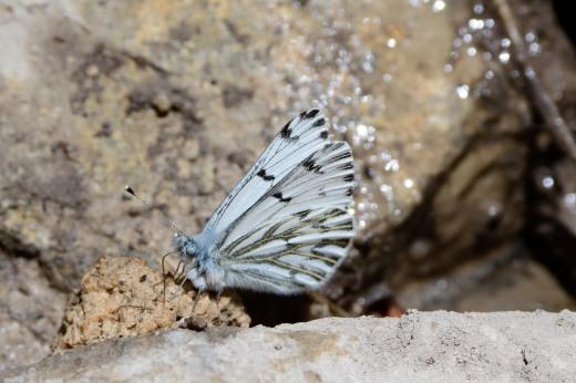 Spring White (Pontia sisymbrii)